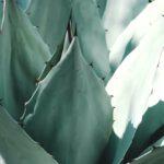 Een winterharde agave, ook bij ons!